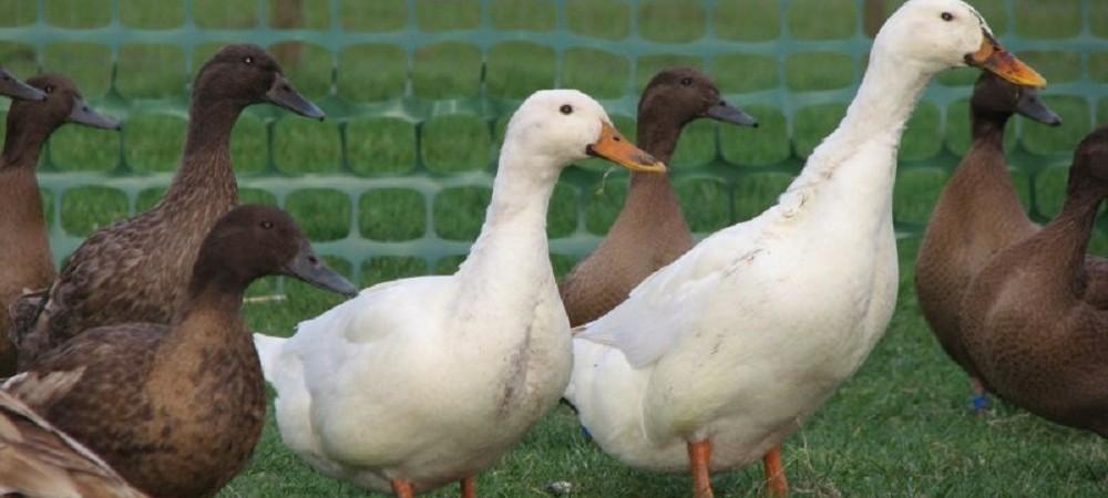Cornhill Farm Cottages ducks