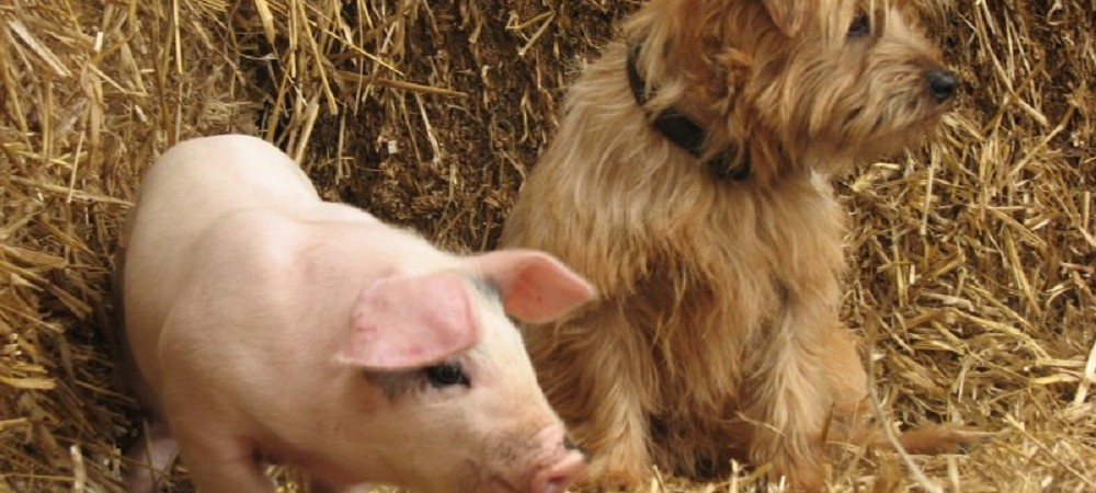 Cornhill Farm Cottages pig and dog