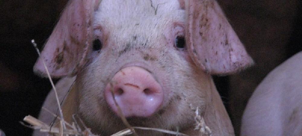 Cornhill Farm Cottages pig