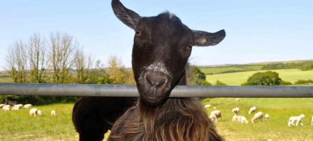 Court Farm Holidays goat