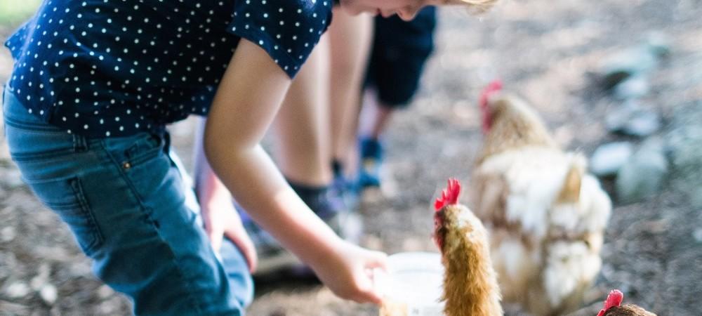 Court Farm Holidays feeding chickens