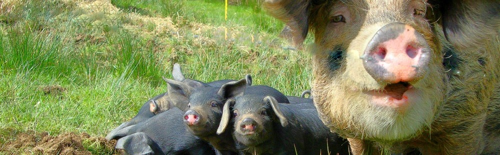 Lower Hearson Farm Bracken and Piglets