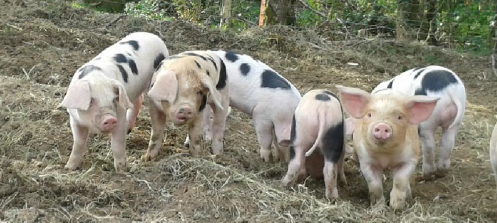 Lower Hearson Farm piglets