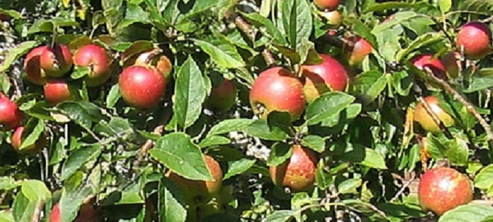 Mudgeon Vean Farm Orchards