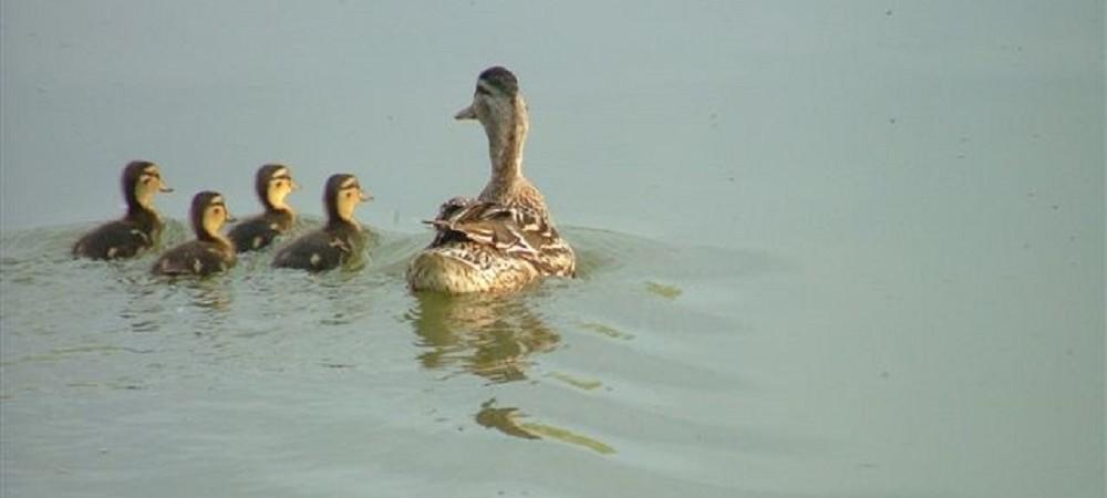 New House Farm ducklings on Mangerton fishing lake