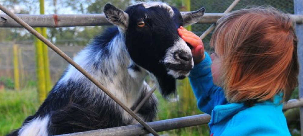 Pollaughan Farm Holiday Cottages child with goat