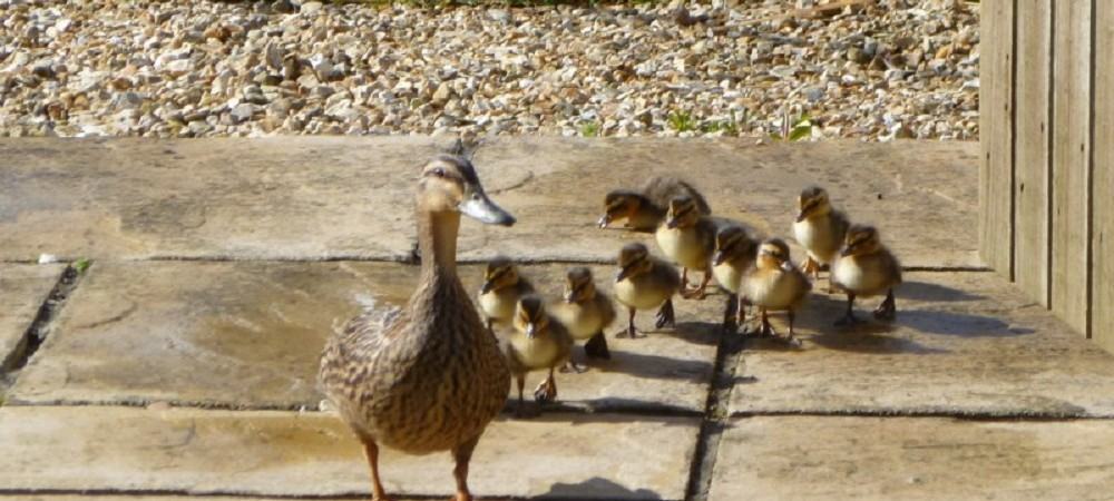 Pollaughan Farm Holiday Cottages ducklings
