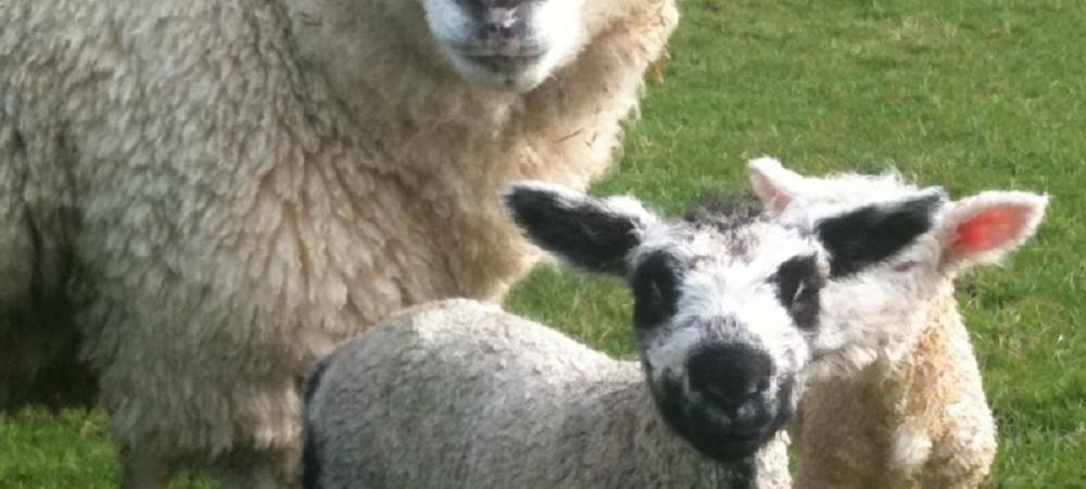 Pollaughan Farm lambs