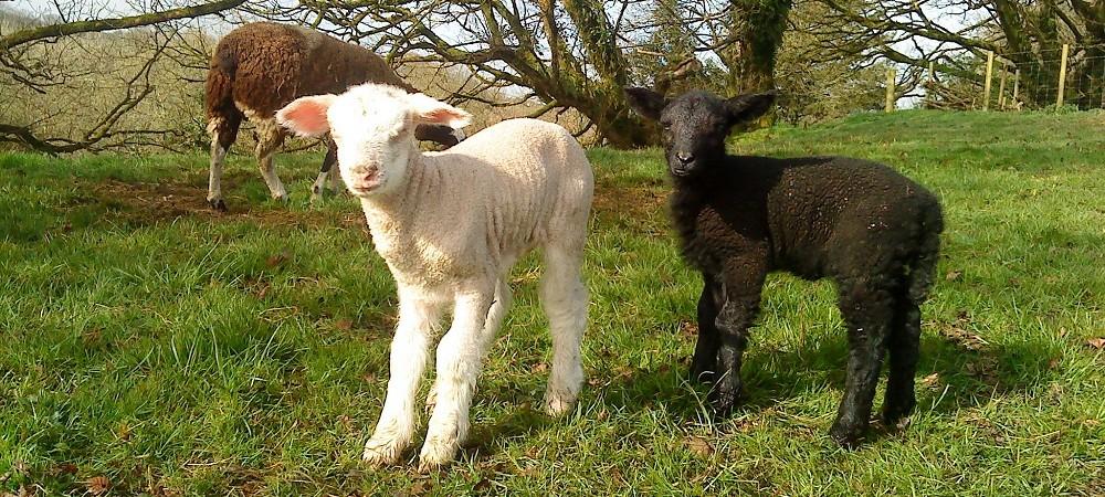 Ta Mill lambs