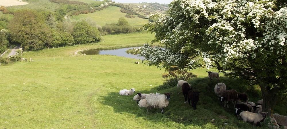 Ta Mill sheep