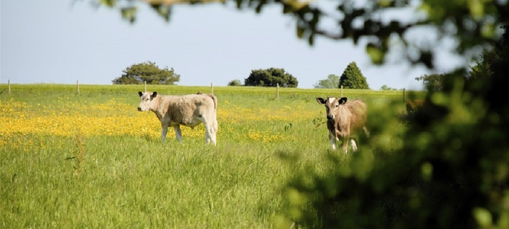Talehay Holiday Cottages cows in field