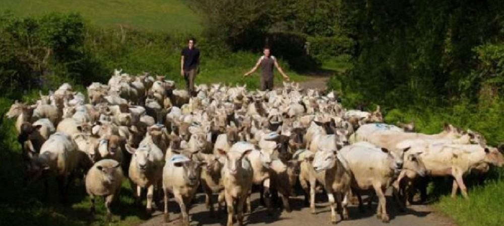 Tamar Valley Tipis sheep