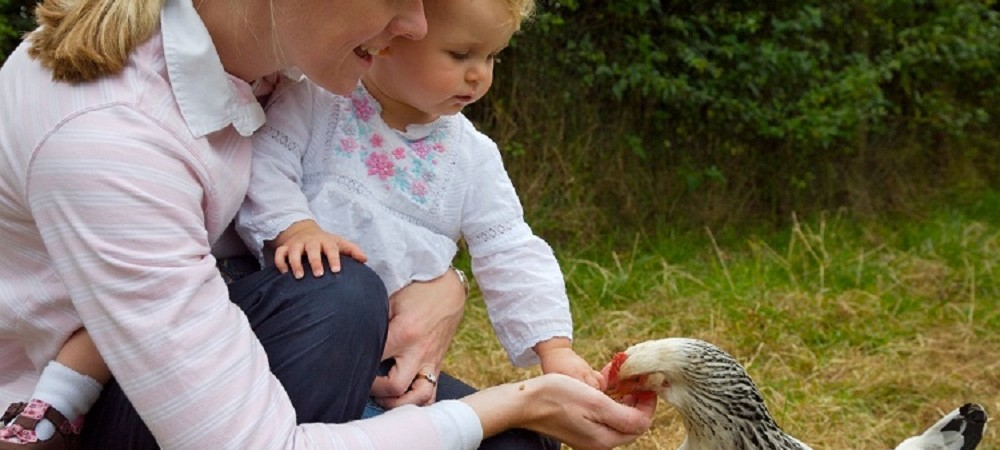 Tredethick Farm Cottages toddler feeding chickens