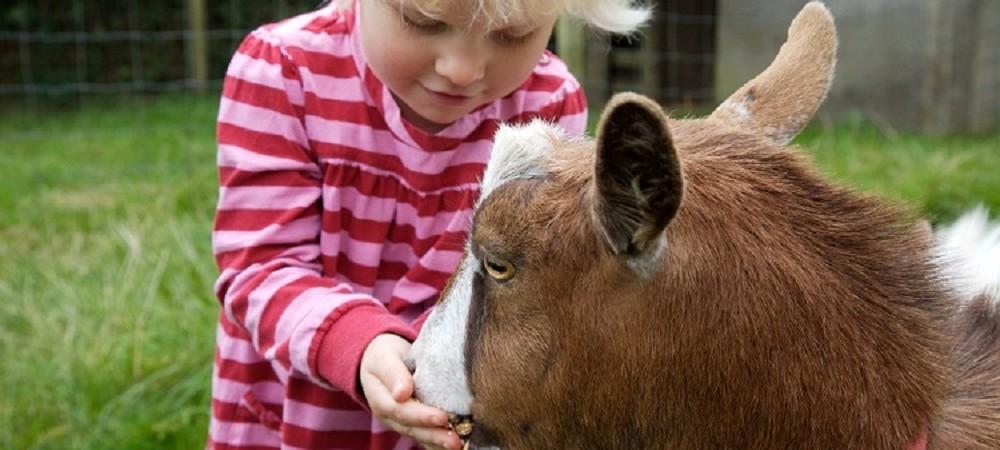 Tredethick Farm Cottages - toddler feeding goat