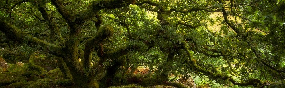 Ancient oak trees at Wistmans Wood Dartmoor Devon