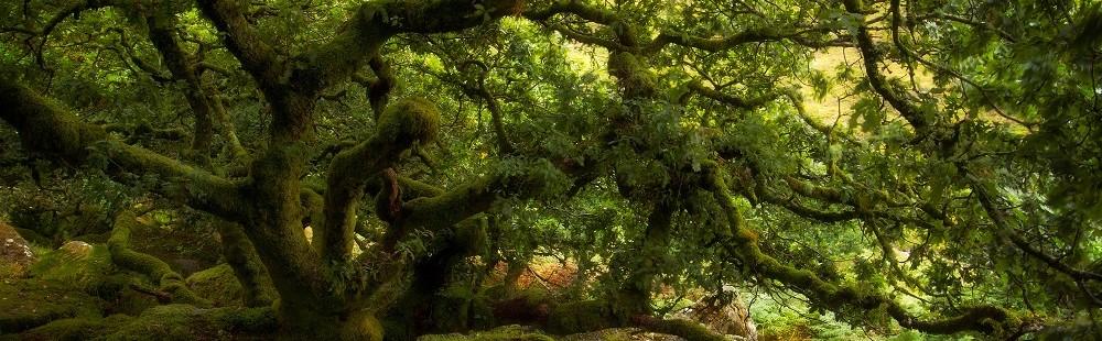 Ancient oak trees at Wistmans Wood Dartmoor Devon