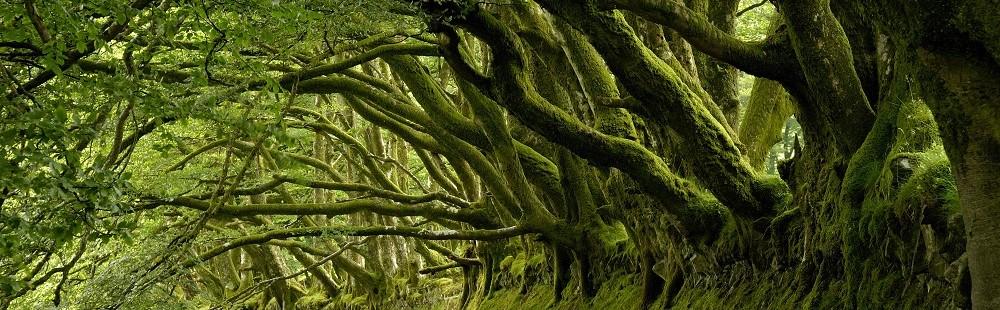 Beech trees River Barle Somerset