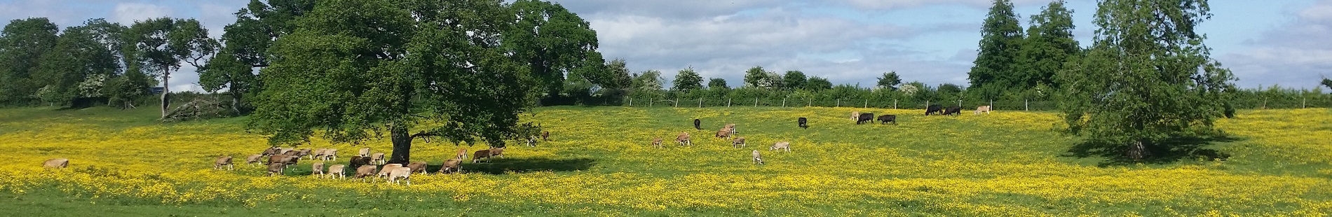 Farm animals - cows in a field of wildflowers