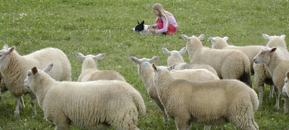 Ashridge Farm Holidays Devon - sheepdog and sheep