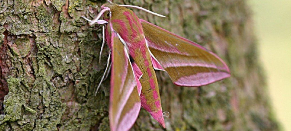 Ashridge Farm Holidays Devon - elephant moth