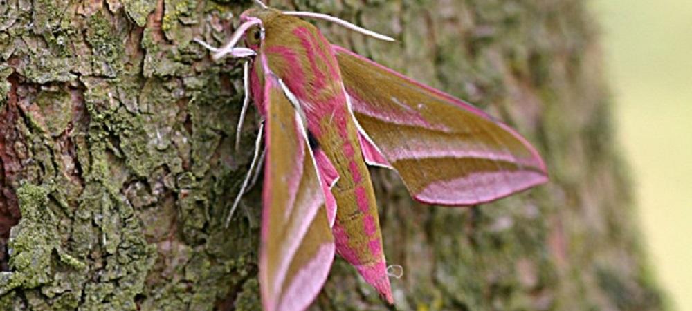 Ashridge Farm Holidays Devon - elephant moth