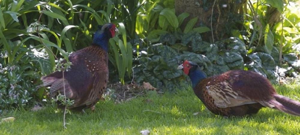 Ashridge Farm Holidays Devon - pheasants