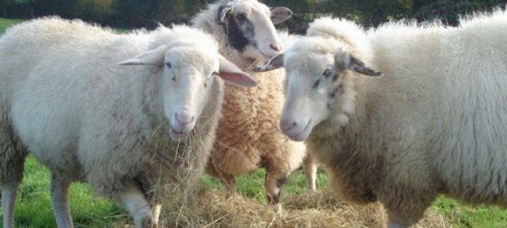 Barritshayes Farm Bed and Breakfast Devon - sheep