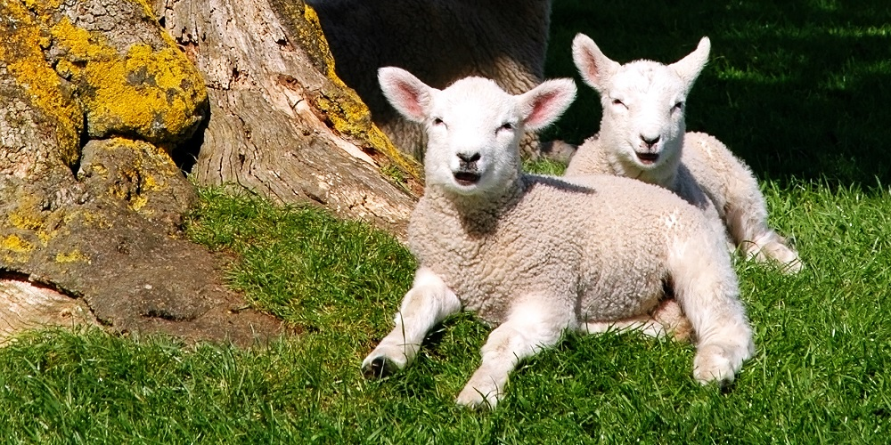 Baby animals in Somerset - lambs