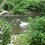Abbotsbury Swannery Dorset swan on the pond