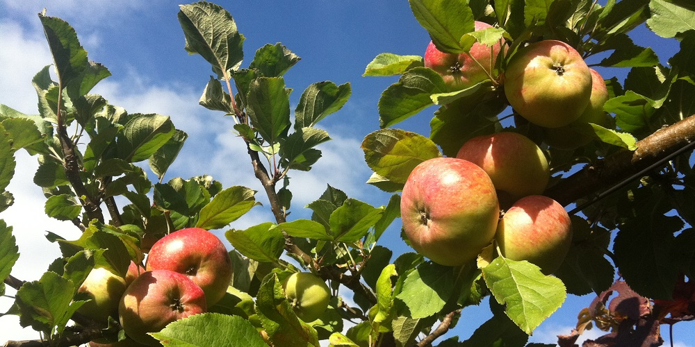 apple-tree-orchard