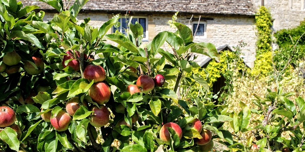 Apple trees at Cogges Manor Farm