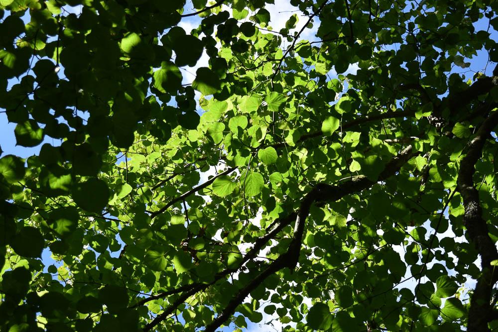 Trees at Lanhydrock. Cornwall